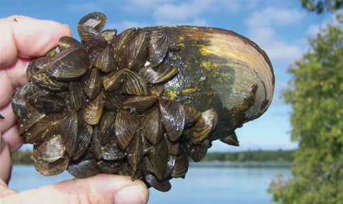 Smaller aquatic invasive species begin to encapsulate a larger shell.